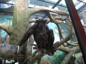 チンパンジー(撮影:門脇慧)